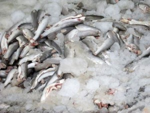 بیشاز ۴۰۰کیلوگرم ماهی حرام در مهریز کشف شد