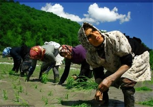 فیلم/ برنجکاران کمر راست کنند/ دستگاه نشاء اتوماتیک برنج در ژاپن