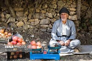 برداشت انار از باغات اورامان استان کردستان