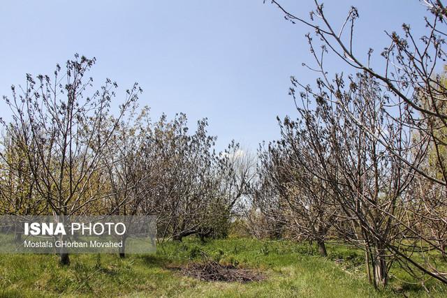 بر اثر برودت هوا ۶۸۰۰ هکتار از باغات میوه شهرستان اهر در استان آذربایجان شرقی از سرمازدگی از بین رفتند.